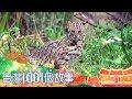 路殺獵殺犬殺毒殺 台灣最後貓科滅絕邊緣 Part1 台灣1001個故事