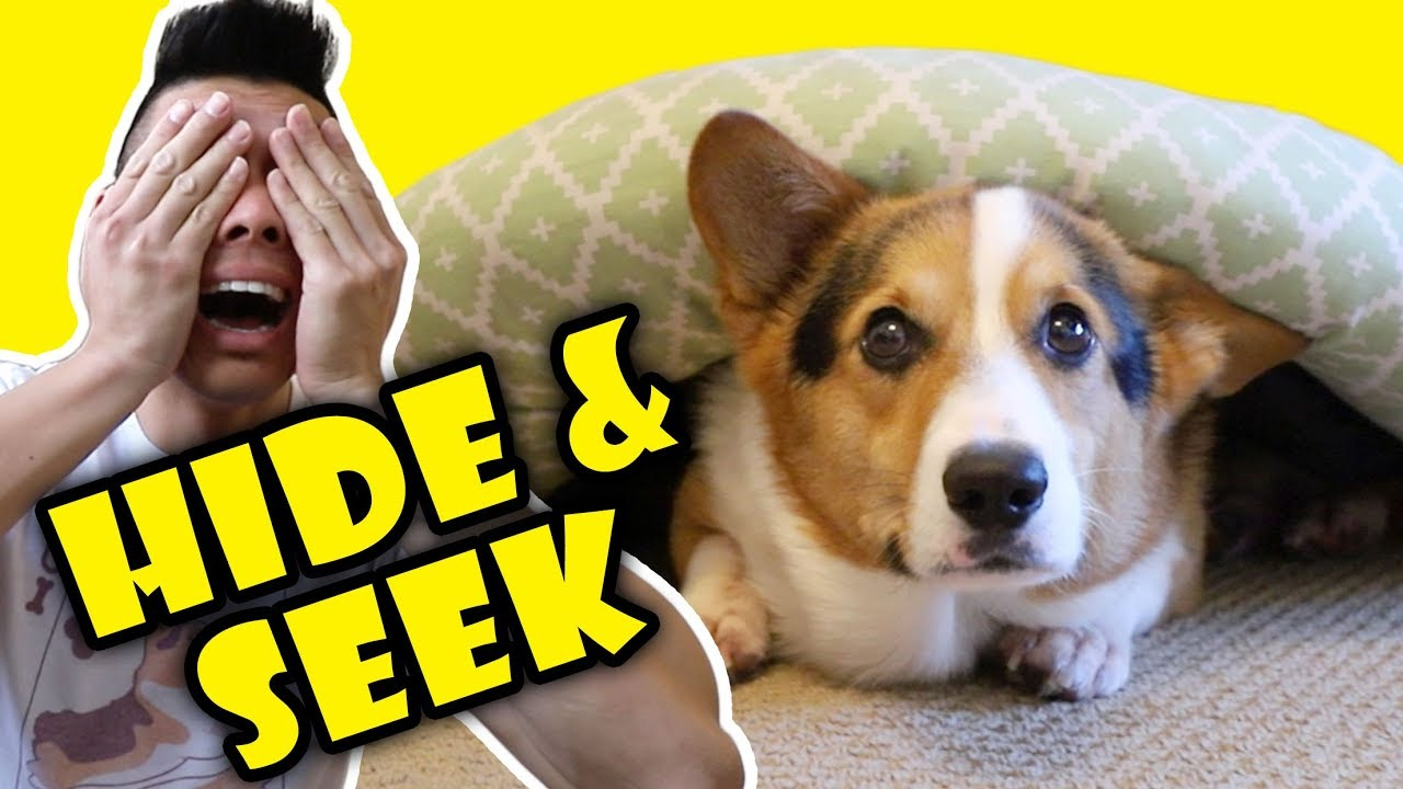playing-hide-seek-with-a-corgi-dog-extra-after-college