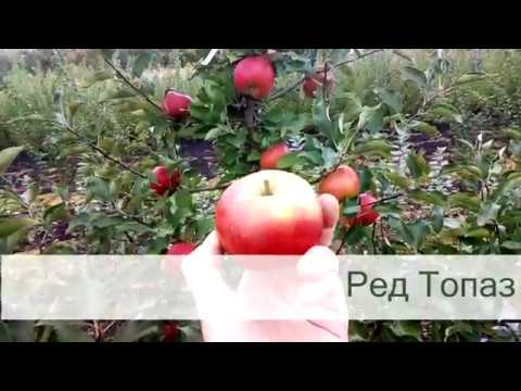 обзор сортов яблони для экологического производства