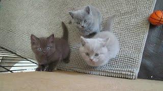 Британские котята - питомник Absolut Best
