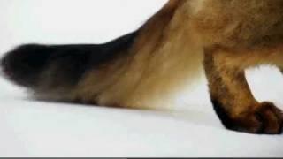 Cats 101: Somali