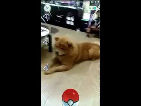 Rare Pokemon Go Catch - Android the Chow Chow