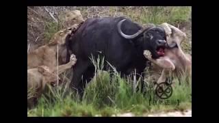 野牛斗狮子