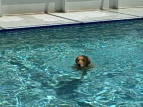 Golden Retriever Kasey Haley Largo Pool Diving