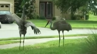 Cranes 'dance' to popular song in front yard of Central Florida home