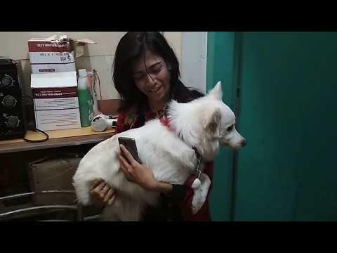 After Vaccination : A Spitz Dog @ Dr. Sagir's Pet Clinic 01912251312