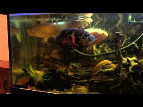 Monster Fish Keeper strange tank mate