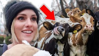 We Got A COW For CHRISTMAS!