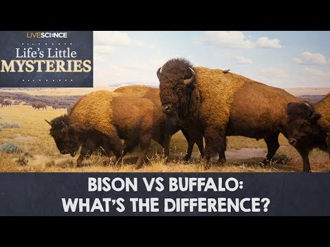 bison vs buffalo what 39 s the difference youtube. Black Bedroom Furniture Sets. Home Design Ideas