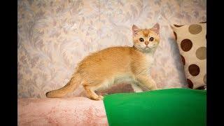Кот Valmont Golden SunRay Британский котенок черного золотого затушеванного окраса
