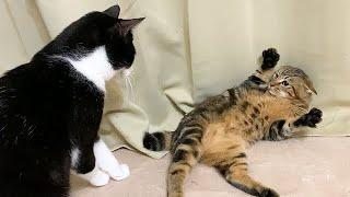 暴れる子猫を押さえつける先住猫