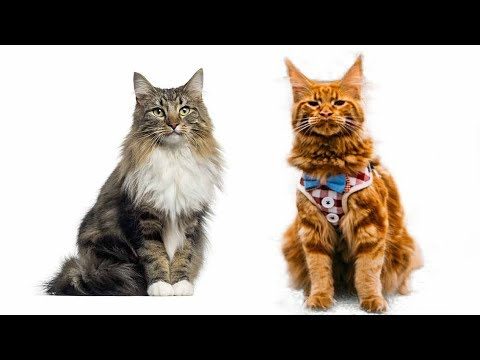 Maine coon vs persian cat