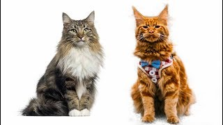 Maine Coon vs Norwegian Forest Cat  What Are the Differences?