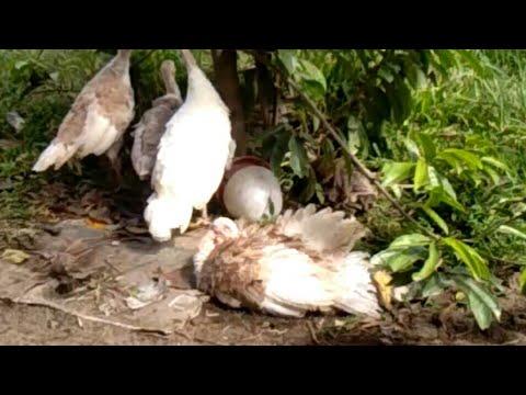 Jenis Ayam Kalkun Usia 3bulan Youtube