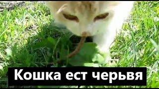 Кошка ест дождевого червяка. Жизнь в природе. Жизнь в деревне.