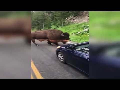 Man taunts bison in Yellowstone National Park