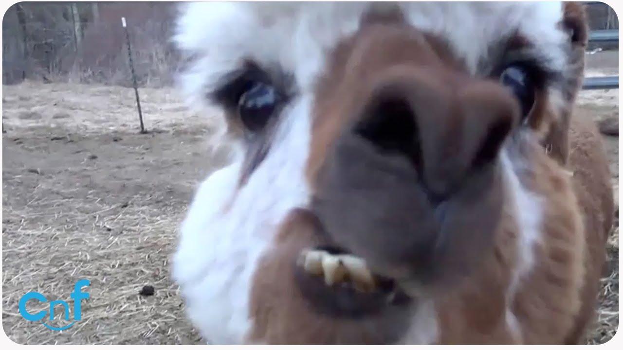 HILARIOUS Alpaca Spits on Camera - YouTube
