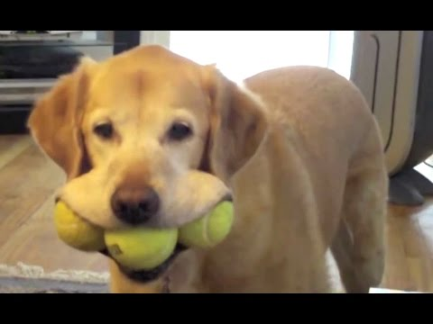 Labrador - A Funny Labradors Videos Compilation || NEW HD