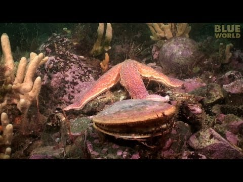 Starfish Attacks A Scallop!