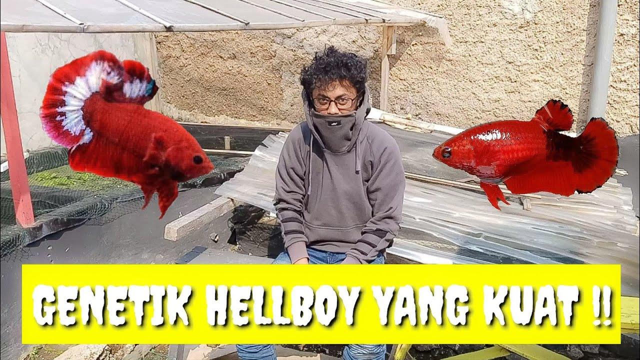 Genetik Indukan Ikan Cupang Hellboy Yang Sangat Kuat Melihat Burayak Ikan Cupang Youtube