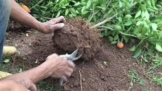 Xem qua cách nhà vườn trồng quất vào ống dù vò chậu