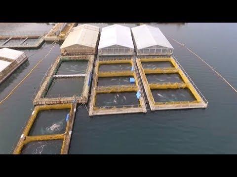 «Китовая тюрьма»: в Приморье беспилотник заснял вольеры с десятками белух и косаток