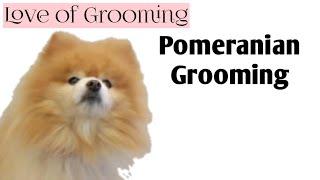Grooming a Pomeranian