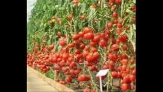 Как посадить помидоры(Итак, что нужно знать, чтобы правильно посадить помидоры? Во-первых: когда следует сажать рассаду помидор...., 2012-08-27T11:18:18.000Z)