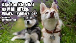 Alaskan Klee Kai vs Mini Husky