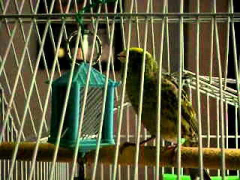 how to keep a canary happy