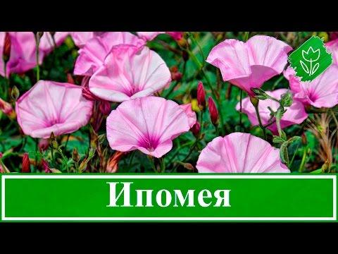 Цветок ипомея – уход и посадка, выращивание из семян