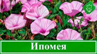 видео Что представляют собой ампельные цветы для балкона?