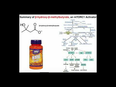 Exercise Physiology | HMB (β-Hydroxy-β-Methylbutyrate): What does it do?