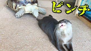 カワウソとカメの際どい関係性