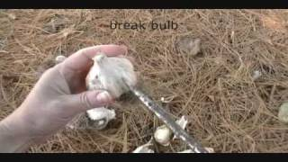 How to plant Garlic in the fall,  Canada