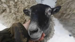 зимняя подкормка романовской овцы свекольным жомом