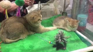 Парк Сокольники. Выставка кошек.