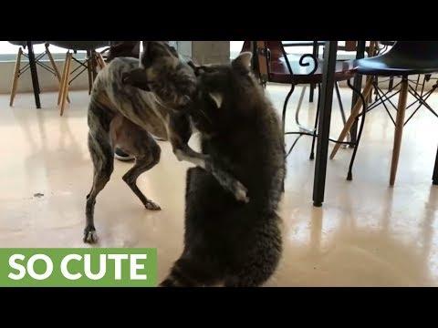 Dog and raccoon share incredible bond