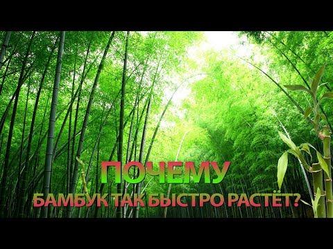 Почему бамбук растёт так быстро?
