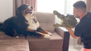Bernese Mountain Dog vs Crocodile Mask!