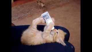 Gatinho tomando leite na Mamadeira