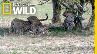 Two Leopard Sisters Mate with Same Male in Rare Video | Nat Geo Wild