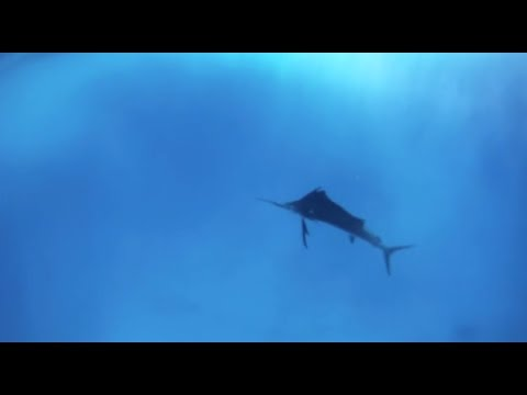 Aerial And Underwater Sailfish Footage | Peter Miller Fishing