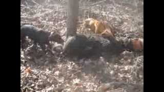 Big boar hog hunting with dogs in SC 2014