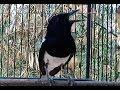 Bahan Ombyok Bahan Muda Hutan Langsung Ikut Bunyi Deger Suara Kacer Ini  Mp3 - Mp4 Download