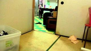 我が家のパグズの追いかけっこです。 http://ameblo.jp/hukutubame/