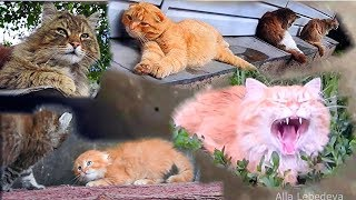 Siberian farm cats Moon NlO Полёт над Луной Сибирские Деревенские кошки Кошляндия