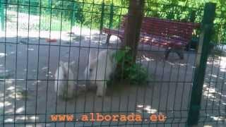 Alborada Derek, Promissing Westie For Dog Shows