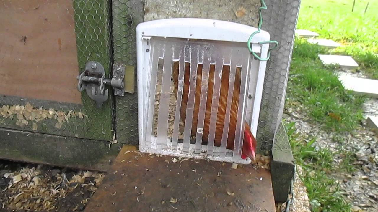 chickens using a cat door / flap & chickens using a cat door / flap - YouTube