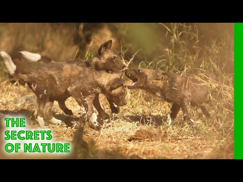 Wild Dogs - Africa's Wild Wonders - The Secrets of Nature